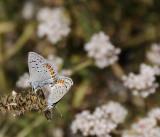 Two Acmon Blue Butterflies