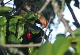 A Finch enjoying the Sweet Cherries