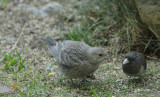 Cowbird chick and its adoptive Dark-Eyed Junco Father