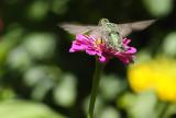 Hummingbird visiting a Zinnia flower