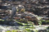 Flying Whimbrel