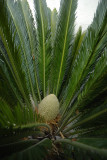 The Male Cone of the Sago Palm