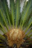Female Flowering Sago Palm