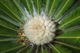 The Female Sago Palm flower