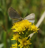Popular Wildflower