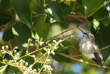 New Backyard Hummingbird