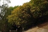 Turning Maple Trees