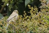Berry Munching Finch