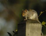 Sunning Squirrel
