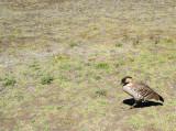 A Nene - Hawaiian Goose