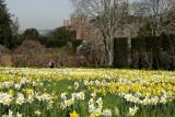 Daffodil Meadow at Filoli Gardens