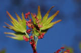 Japanese Maple Flowers