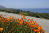 California Poppies and coastline