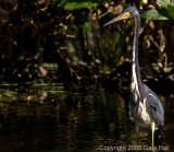 Tri colored Heron -  After removing stick