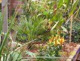 Chamaerops, Hedychium 'gold spot', Lillium 'orange pixie' and a small 'T rex May 2006