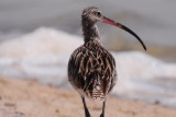 Curlew - strolling the beach
