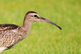 Curlew - what are you doing in the garden