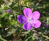 Cranesbill sp. (Geranium sp.)