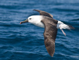 Yellow-nosed Albatross _9121405.jpg