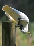 Sulphur-crested Cockatoo _9182973.jpg