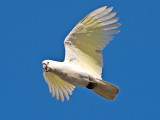 Sulphur-crested Cockatoo _9193294.jpg