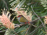 Red-browed Finch _9172777.jpg