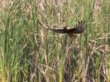 Swamp Harrier _9151971.jpg