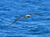 Grey-headed Albatross _9121245.jpg