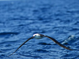 Juv. Yellow-nosed Albatross _9121109.jpg
