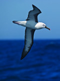 Yellow-nosed Albatross _9121332.jpg