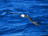 Yellow-nosed Albatross _9121385.jpg