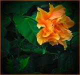 Double Hibiscus Blossom