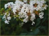 MORE CRAPE MYRTLE FLOWERS