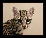 Actually a Little Cat (Ocelot Kitten) #1