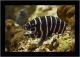 Zebra Moray (eel)