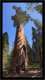 A Bruised Giant Redwood (vertical pano)