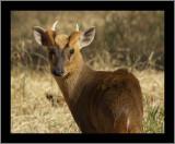 Reeves' Muntjac Deer