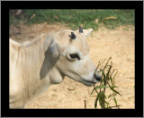 Addax Antelope Kid