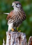 Falco tinnunculus Common Kestrel with a Viviparous lizard