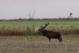Red deer bull roaring
