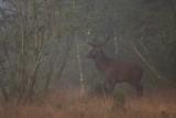 Red deer bull in the mist
