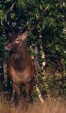 Wild Red deer bull