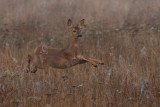 Roe Deer in mid air