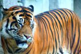 viejo tigre