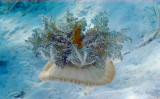 Mangrove Upsidedown Jellyfish