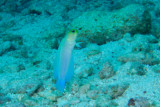 Yellow Headed Jawfish