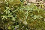 Walking Fern: Asplenium rhizophyllum