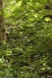 Bent Trillium: Trillium flexipes