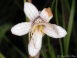 Crab Spider in Orobanche uniflora
