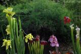 Sarracenia flava, rubra, rosea, & leucophylla